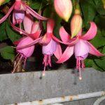 Walz Fleur