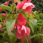 Rose Churchill